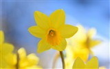 Title:Yellow daffodils in sunshine-Spring Flowers HD Wallpaper Views:1396