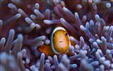Title:clownfish gili island bali-Marine life HD Wallpaper Views:1394