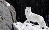 Title:Beautiful Winter Forest White Wolf-Wild Animal HD Wallpaper Views:1637