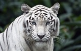 Title:Beautiful white tiger-Wild Animal HD Wallpaper Views:1435
