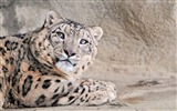 Title:Blue With Eyes Leopard Snow-Wild Animal HD Wallpaper Views:1494