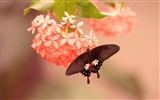 Title:Butterfly on pink flower-High Quality Wallpaper Views:962