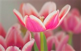 Title:Flower Open White Pink Tulip-Spring Nature HD Wallpaper Views:1234