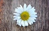 Title:Flower White Wood Daisy Blossom-Spring Nature HD Wallpaper Views:1327