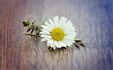 Title:Flower Yellow Grass White Daisy still life-Spring Nature HD Wallpaper Views:1187
