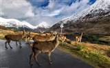 Title:Glen etive stags-Wild Animal HD Wallpaper Views:1463