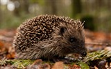 Title:Hedgehog in the forest-Wild Animal HD Wallpaper Views:1312