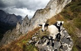 Title:High Mountain Black Goat-Wild Animal HD Wallpaper Views:1247