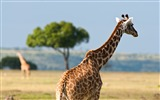 Title:Kenya Giraffe Animals wildlife-Wild Animal HD Wallpaper Views:1562