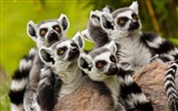 Title:Lemurs Family-Wild Animal HD Wallpaper Views:1496