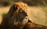 Title:Lion in the outdoor-Wild Animal HD Wallpaper Views:1543