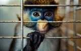 Title:Monkey sad captivity armenia-Wild Animal HD Wallpaper Views:1398