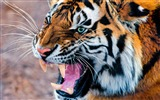 Title:Snarling Tiger-Wild Animal HD Wallpaper Views:1133
