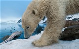 Title:Snow polar bear whale bone-Wild Animal HD Wallpaper Views:1573
