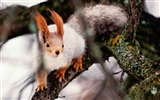 Title:Squirrel Red Nimble-Wild Animal HD Wallpaper Views:1384