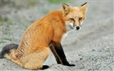 Title:Vulpes washington red fox-Wild Animal HD Wallpaper Views:1569