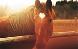 Title:Horse face light mane-Grassland animal HD Wallpaper Views:883