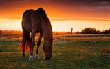 Title:Horse field pasture sunset-Grassland animal HD Wallpaper Views:1291
