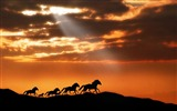Title:Horse herd sunset silhouettes escape-Grassland animal HD Wallpaper Views:975