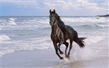 Title:Horse running spray beach jump-Grassland animal HD Wallpaper Views:853