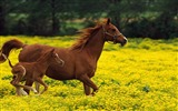 Title:Horse stallion family jumping-Grassland animal HD Wallpaper Views:1144