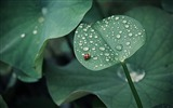 Title:Ladybug leaf drops dew-Plants Photo HD Wallpaper Views:1191