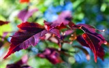 Title:Leaves lilac violet branch-Plants Photo HD Wallpaper Views:1220