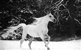 Title:White horse jumping winter-Grassland animal HD Wallpaper Views:1273
