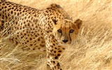 Title:Cheetah grass hunt look attentive-Animal Photo HD Wallpaper Views:1385