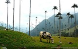 Title:Cows In Colombia-2016 National Geographic Wallpaper Views:1405