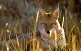 Title:Coyote Colorado Gunnison National Park-2016 Bing Wallpaper Views:1586