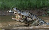 Title:Double trapping crocodiles-2016 National Geographic Wallpaper Views:2306