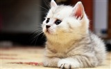 Title:Kitten floor fluffy-Animal Photo HD Wallpaper Views:1141