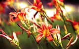 Title:Lilies flowers bright red-Flowers Photo HD Wallpaper Views:913