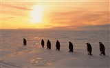 Title:Penguins sunrise winter ice snow-High Quality HD Wallpaper Views:927