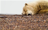 Title:Polar bear sleep-Animal Photo HD Wallpaper Views:1169