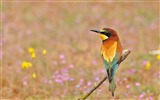 Title:Poultry bee eater golden bird-Animal Photo HD Wallpaper Views:1233