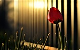 Title:Red Tulip Sunshine-High Quality HD Wallpaper Views:630