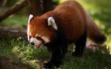 Title:Red panda walk-Animal Photo HD Wallpaper Views:1465