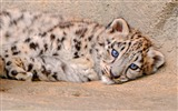 Title:Snow leopard sadness-High Quality HD Wallpaper Views:755
