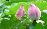 Title:Summer Blooming Lotus Photo Wallpaper 01 Views:719