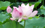 Title:Summer Blooming Lotus Photo Wallpaper 04 Views:966