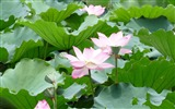 Title:Summer Blooming Lotus Photo Wallpaper 05 Views:774