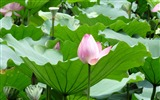 Title:Summer Blooming Lotus Photo Wallpaper 06 Views:834