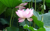 Title:Summer Blooming Lotus Photo Wallpaper 10 Views:866
