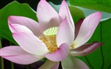 Title:Summer Blooming Lotus Photo Wallpaper 11 Views:773