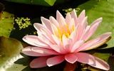 Title:Summer Blooming Lotus Photo Wallpaper 13 Views:946