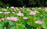 Title:Summer Blooming Lotus Photo Wallpaper 15 Views:992