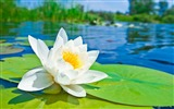 Title:Summer Blooming Lotus Photo Theme Wallpaper Views:2191