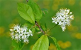Title:Cherry flowering leaves-Flowers photography wallpaper Views:1018